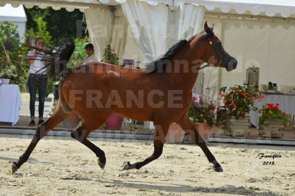 Championnat de FRANCE de chevaux Arabes à Pompadour en 2018 - LAZEEZ AL SHAHANIA - 08