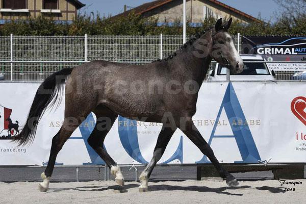 Concours régional de Modèles & Allures de chevaux Arabes, Anglo-Arabes, Demi Sang Arabes - GOLD OF MARTRETTES - Anglo Arabes