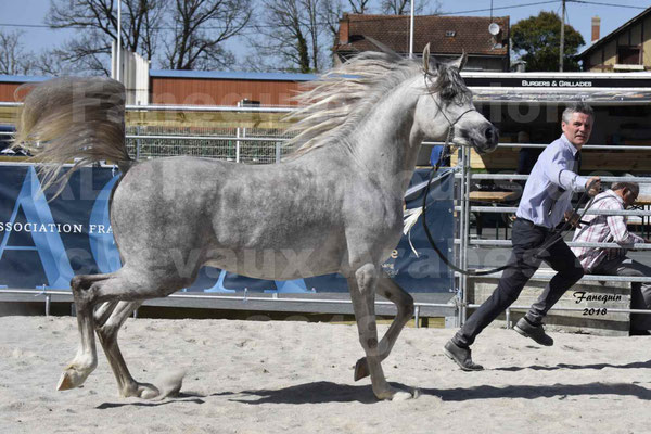 Concours régional de Modèles & Allures de chevaux Arabes, Anglo-Arabes, Demi Sang Arabes - SHAKEEL DE LAFON - Arabe