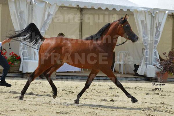 Championnat de FRANCE de chevaux Arabes à Pompadour en 2018 - LAZEEZ AL SHAHANIA - 19