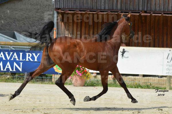 Championnat de FRANCE de chevaux Arabes à Pompadour en 2018 - LAZEEZ AL SHAHANIA - 13