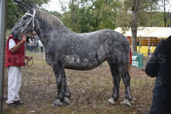 Concours Régional de chevaux de traits en 2017 - Pouliche Trait PERCHERON - ÉCAILLE DU RAMIER - 02