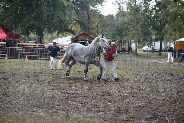 Concours Régional de chevaux de traits en 2017 - Pouliche Trait PERCHERON - ÉCAILLE DU RAMIER - 14