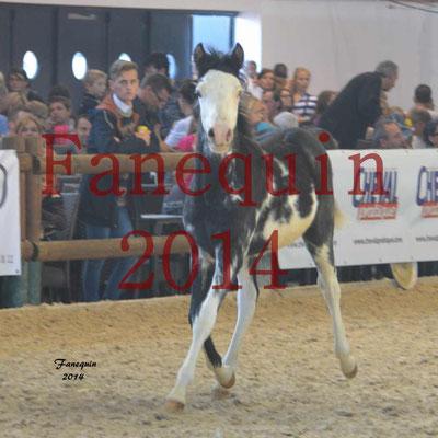 EQUITA-LYON 2014 - Présentation chevaux arabes de couleurs - 2