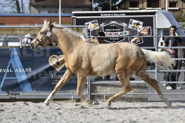 Concours régional de Modèles & Allures de chevaux Arabes, Anglo-Arabes, Demi Sang Arabes - GOLD DE DARRE - Demi Sang Arabe