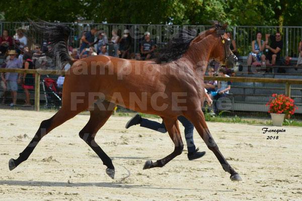 Championnat de FRANCE de chevaux Arabes à Pompadour en 2018 - LAZEEZ AL SHAHANIA - 15