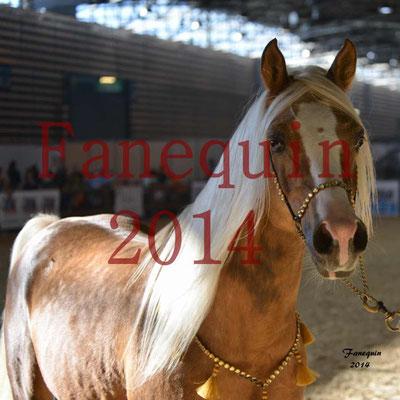 EQUITA-LYON 2014 - Présentation chevaux arabes de couleurs - 1