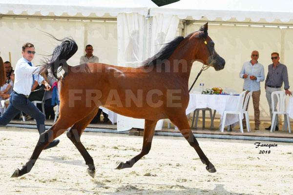 Championnat de FRANCE de chevaux Arabes à Pompadour en 2018 - LAZEEZ AL SHAHANIA - 07