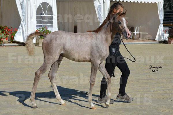 Championnat de FRANCE de chevaux Arabes à Pompadour en 2018 - SAÏFA - 1