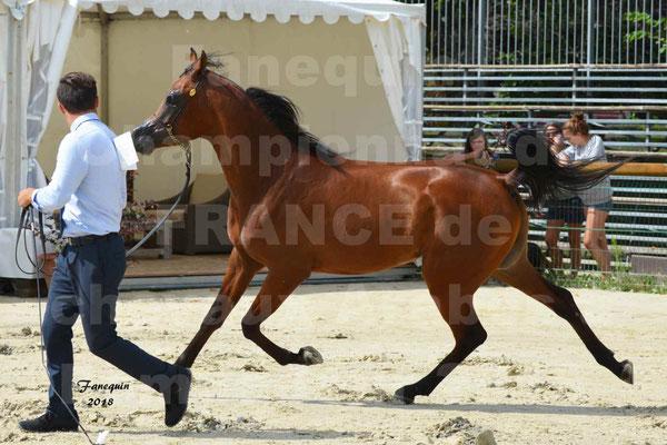 Championnat de FRANCE de chevaux Arabes à Pompadour en 2018 - LAZEEZ AL SHAHANIA - 21