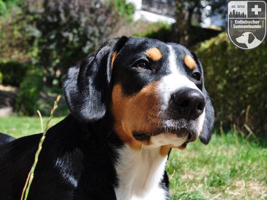 Entlebucher Sennenhund Portrait Ida vom Thurnerkamp