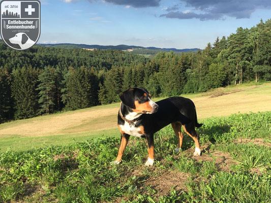 Entlebucher Sennenhund Ida vom Thurnerkamp im Mirellental