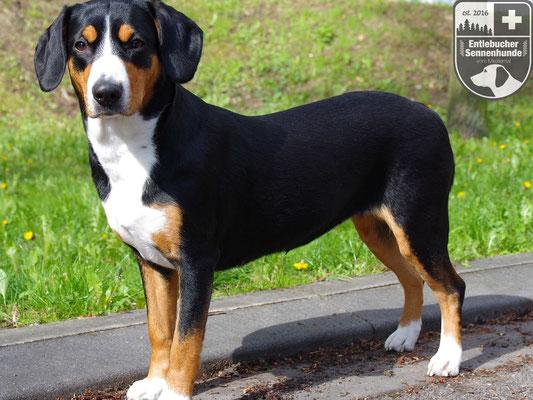 Entlebucher Sennenhund Ida vom Thurnerkamp
