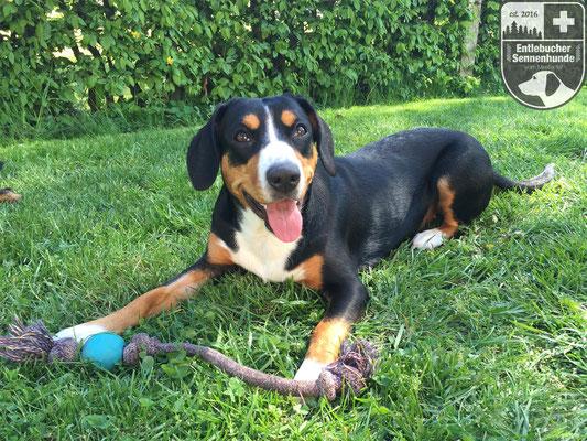 Entlebucher Sennenhund Ida vom Thurnerkamp mit ihrem Lieblingsspielzeug