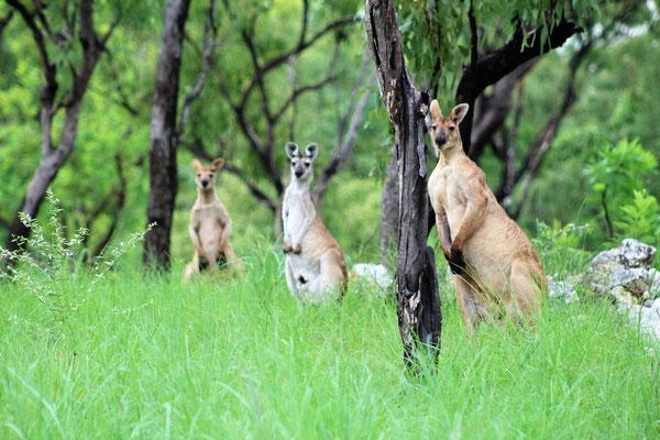 KANGOUROUS PENDANT LA VISITE  EN BUGGY DE LA FERME OAKEY DOWNS A 100KM AU SUD DE DARWIN AUSTRALIE