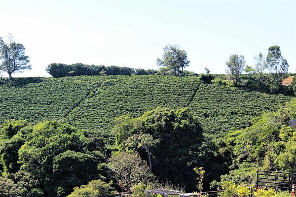 PLANTATION DE CAFE ENTRE LE VOLCAN POAS  ET ALAJUELA COSTA RICA