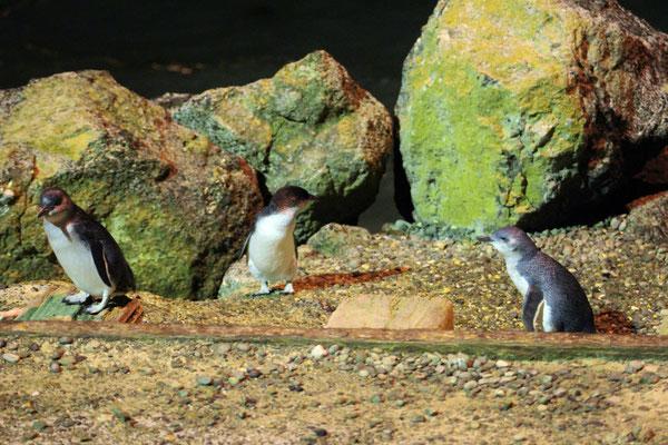 DES PINGOUINS BLEUS PUKEKURA A OAMARU ILE DU SUD NZ