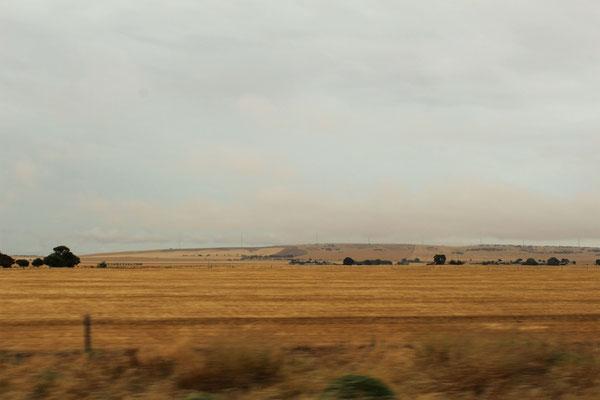 DE TRES GRANDES ETANDUES DE CEREALES ENTRE ADELAÏDE ET PORT PIRIE SOUTH AUSTRALIE
