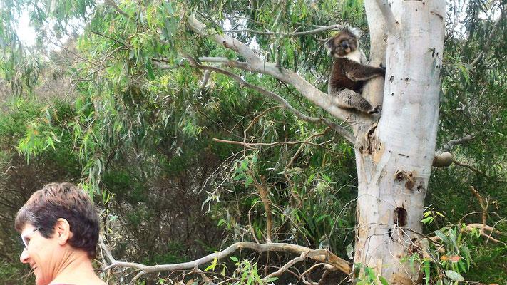 KOALA SUR LA ROUTE PRES DU CAMPING A BROWNHILL ADELAÏDE SOUTH AUSTRALIA AUSTRALIE