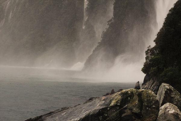 UNE COLONIE D'OTARIES AU PIED DES CHUTES  MILFORD SOUND ILE DU SUD NZ