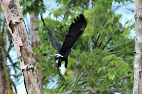 UN AIGLE PECHEUR AU PARC NATIONAL DE CAHUITA COSTA RICA