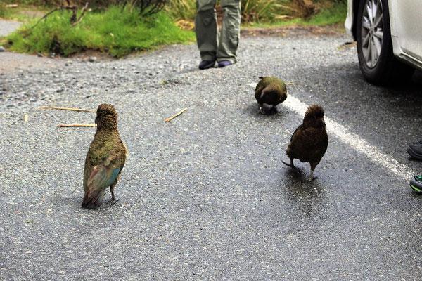 DES KEAS SUR LA ROUTE ENTRE TE ANAU ET MILFORD SOUND ILE DU SUD NZ