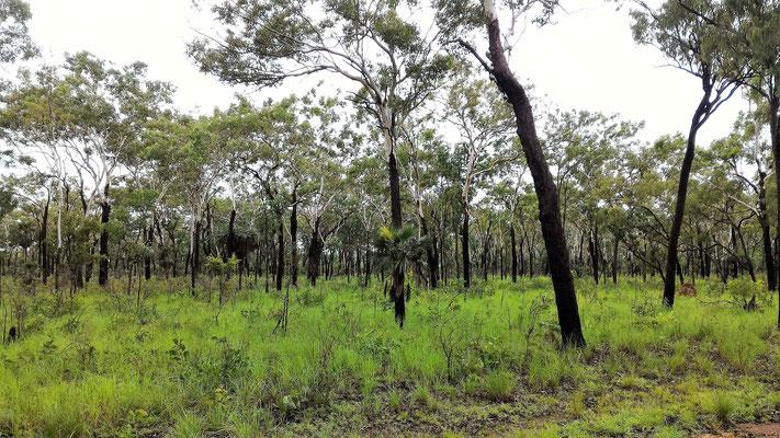 FORET ENTRE TOLMER FALLS ET FLORENCE FALLS LITCHFIELD NP SUD DE DARWIN AUSTRALIE
