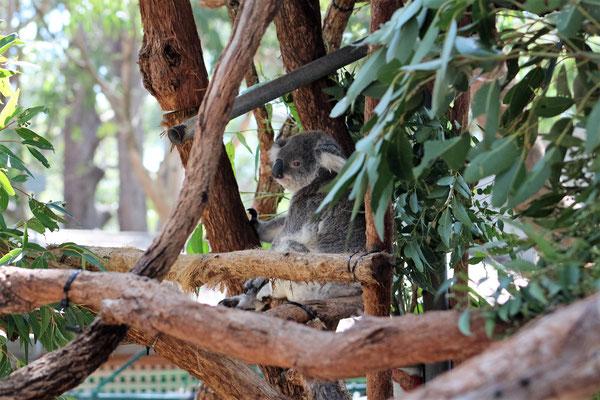 PENSIONNAIRE A LA CLINIQUE DES KOALAS A PORT MACQUERIE AUSTRALIE
