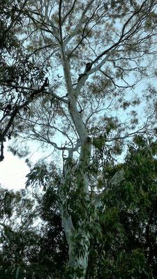 MAMAN KOALA ET SON PETIT AU CAMPING  LA CITY ET VICTORIA SQUARE ADELAÏDE SOUTH AUSTRALIA AUSTRALIE