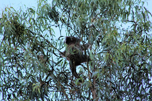 KOALA AU CAMPING A BROWNHILL ADELAÏDE SOUTH AUSTRALIA AUSTRALIE