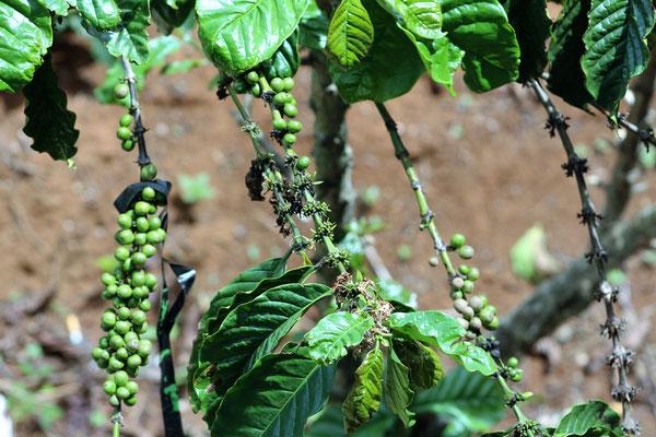 JEUNES FRUITS DE CAFEIER A LA PLANTATION ME LINK COFFEE GARDEN DALAT