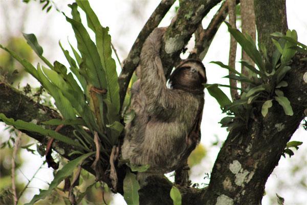 UN PARESSEUX SUR LE CHEMEIN VERS LA GUEST A CAHUITA COSTA RICA