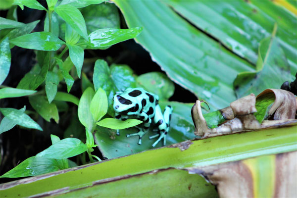 UNE PETITE GRENOUILLE UN MATIN DANS LE JARDIN A LA GUEST A CAHUITA COSTA RICA