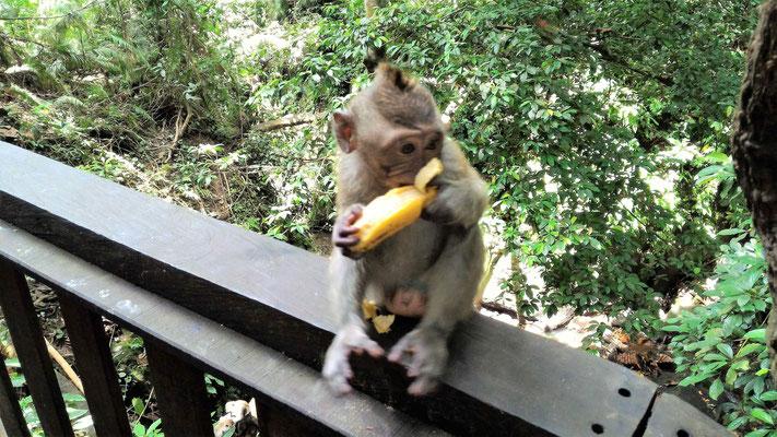 JEUNE SINGE SACRED MONKEY FOREST SANCTUARY A UBUD BALI
