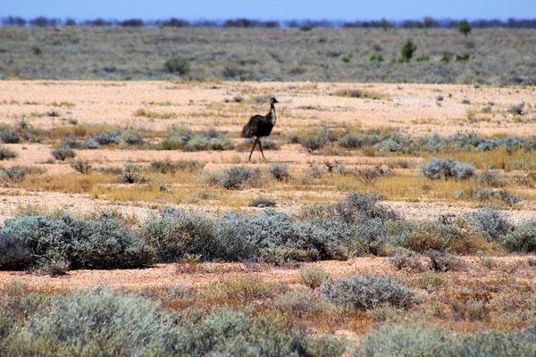 EMEU A 75 KM AVANT COOBER PEDY SOUTH AUSTRALIA AUSTRALIE