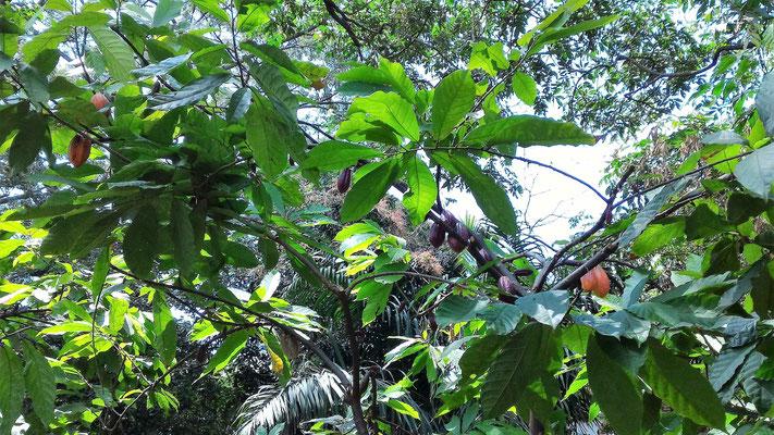 PLANT DE CACAO AU PARC HISTORIQUE GUAYAQUIL EQUATEUR