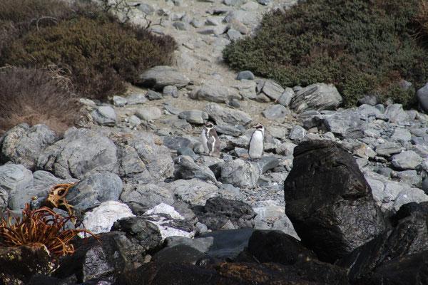 PINGOUINS  HUMBOLDT AUX ILES PUNTO CHORROS CHILI