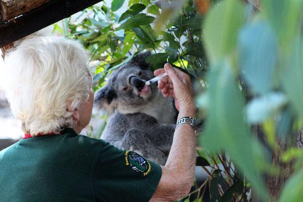 COMPLEMENT DE GLUCOSE A UN PENSIONNAIRE DE LA CLINIQUE DES KOALAS A PORT MACQUERIE AUSTRALIE