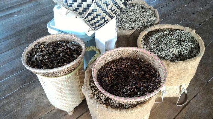 GRAINS DE CAFE AVANT ET APRES DIGESTION PAR LES CIVETTES (SORTE DE BELETTE) A LA PLANTATION DE CAFE ME LINK COFFEE GARDEN DALAT