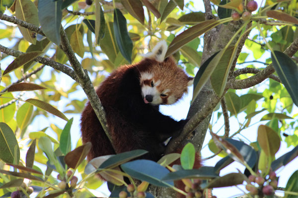 PANDA ROUX ZOO AUCKLAND NZ