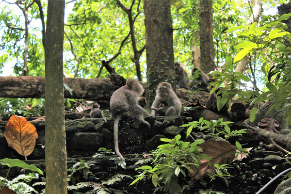 SINGES AU SACRED MONKEY FOREST SANCTUARY A UBUD BALI