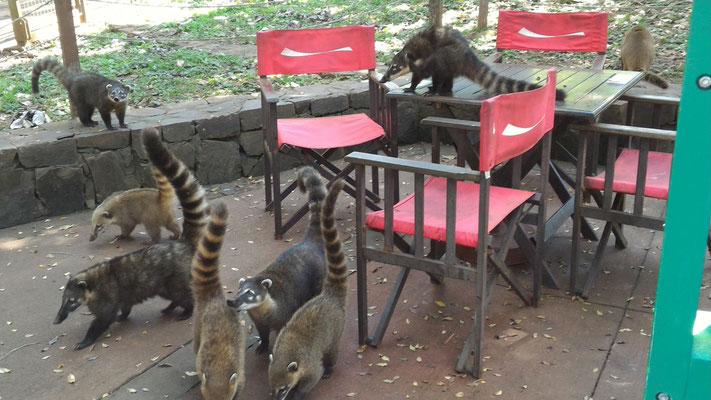 COATIS VERS CAFETERIA DU CIRCUIT INFERIEUR CHUTES IGUAZU ARGENTINE