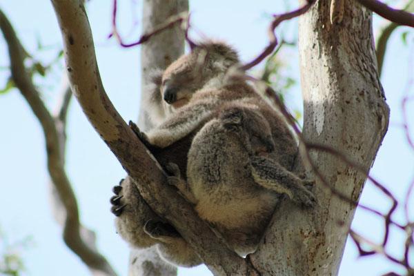 KOALAS MAMAN ET SON PETIT RAYMOND ISLAND VICTORIA AUSTRALIE