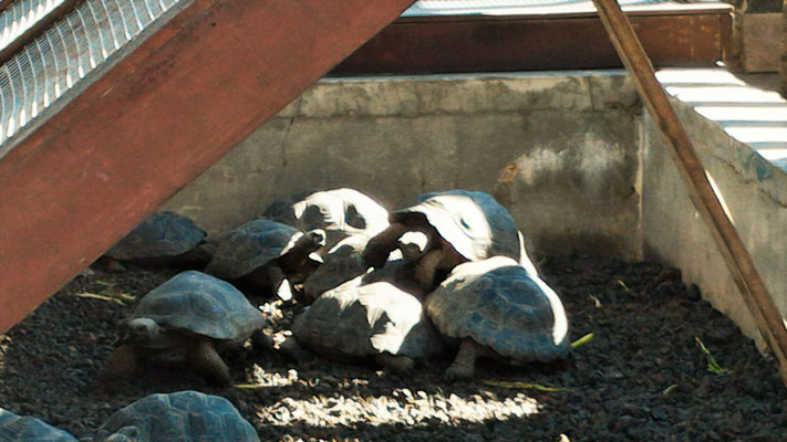 TORTUES GEANTES DE 3 ANS  A LA NURSERIE AU CENTRE DE REINTRODUCTION DES TORTUES ISABELA GALAPAGOS EQUATEUR
