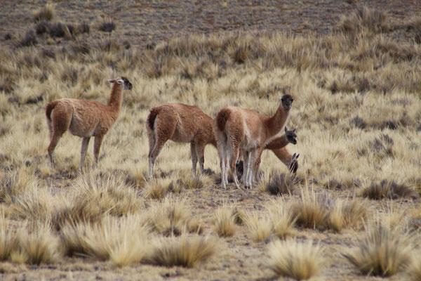 LAMAS GUANACO PAYSAGE COL A 3348 M SUR LA ROUTE SUD SALTA ARGENTINE