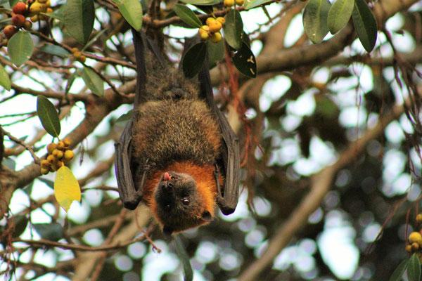 UNE GREY HEAD FLYING FOX (CHAUVE-SOURIS) 60 CM ENVERGURE AU JARDIN BOTANIQUE DE SYDNEY AUSTRALIE