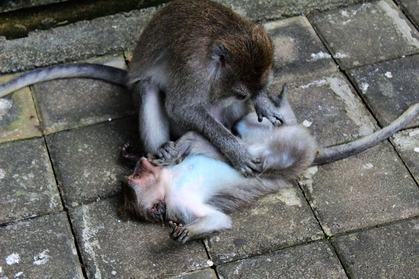 TU REGARDES SI J'AI DES PUCES AU SACRED MONKEY FOREST SANCTUARY A UBUD BALI