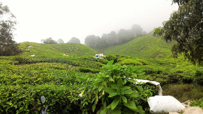 RECOLTE DU THE PLANTATION BOH SUNGAI PALAS CAMERON HIGHLANDS MALAISIE