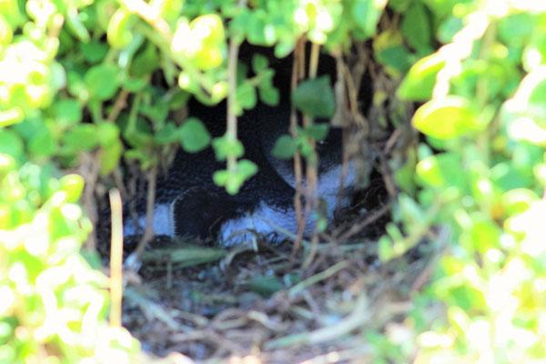 PINGOUIN PIGME EN TRAIN DE COUVER A BLOW HOLE PHILLIP ISLAND VICTORIA AUSTRALIE