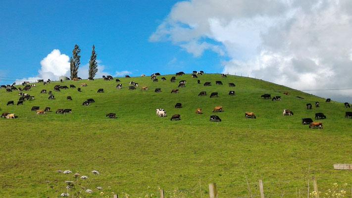 VACHES SUR UNE COLLINE A WAITOMO ILE DU NORD NZ